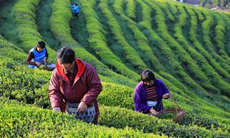 Hangzhou marks Intl Tea Day