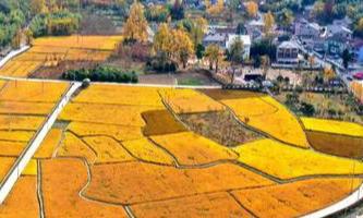 Wanshi town: Home of gingko trees