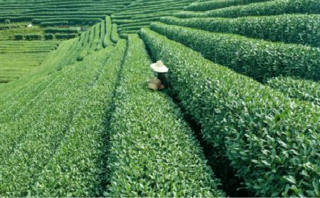 Digital technologies in Hangzhou boost tea's growth, sales