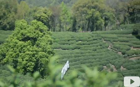 Hangzhou Eye episode 76: Frying tea from the heart