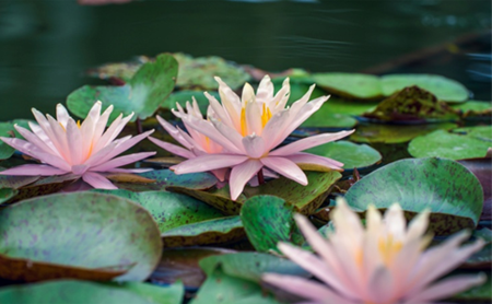 West Lake's water lilies in full blossom